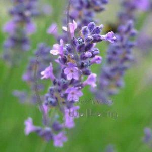 Hydrosols (Flower or Floral Waters)